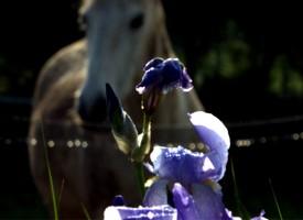Le lys et le cheval