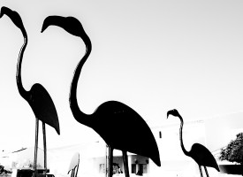 Flamants des St Maries de la Mer