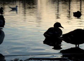 Canards Or…. Montpellier