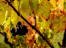 Baies noires Languedoc