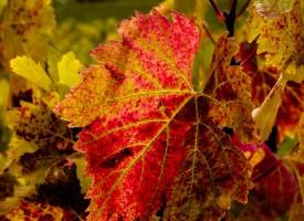 Vigne d'automne