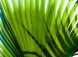 L'oiseau palmier