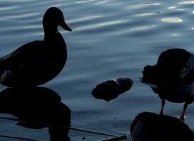 Black Canards… Montpellier