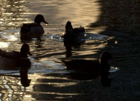 Famille Canard Or …